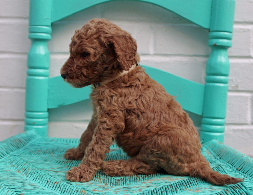 Miles came from Hadley and Scout's litter of F1BB Irish Doodles