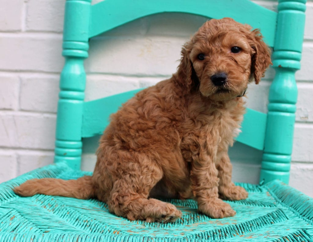 A picture of a Miller, one of our Standard Irish Doodles puppies that went to their home in Florida