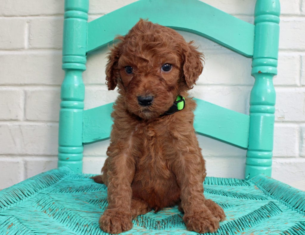 A picture of a Milton, one of our Standard Irish Doodles puppies that went to their home in Kansas