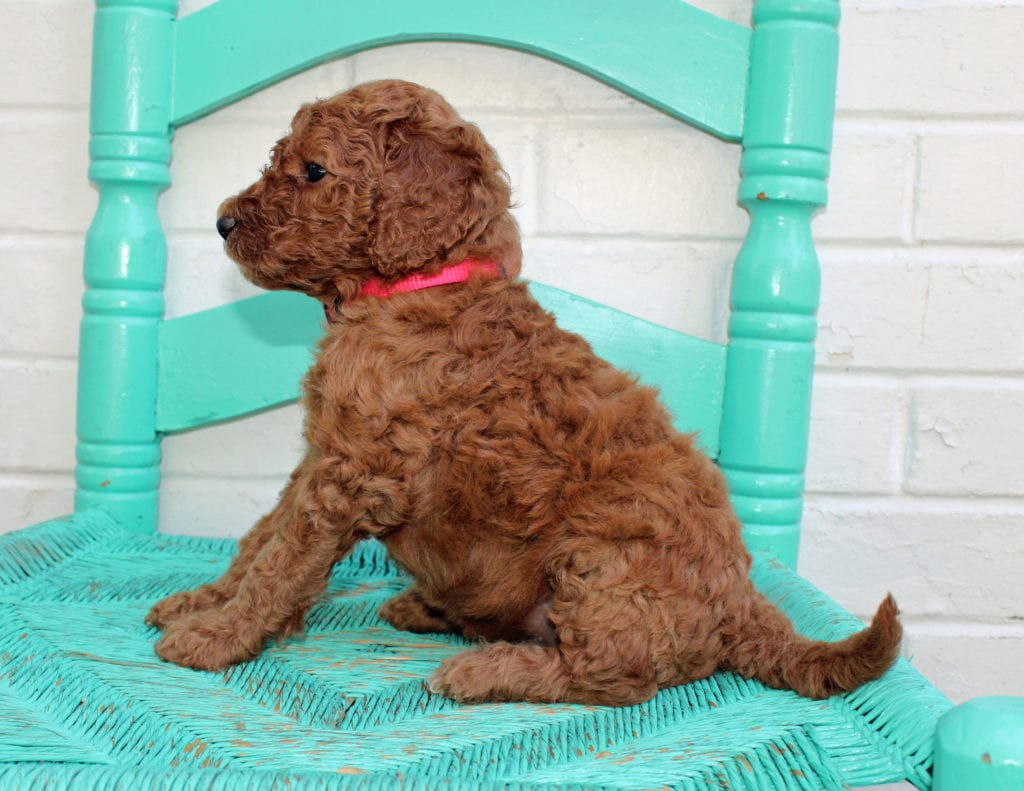 Missy came from Hadley and Scout's litter of F1BB Irish Doodles