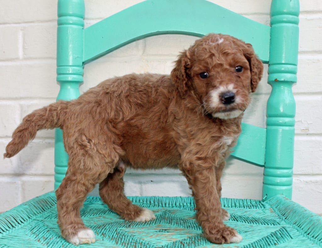 Mister came from Hadley and Scout's litter of F1BB Irish Doodles