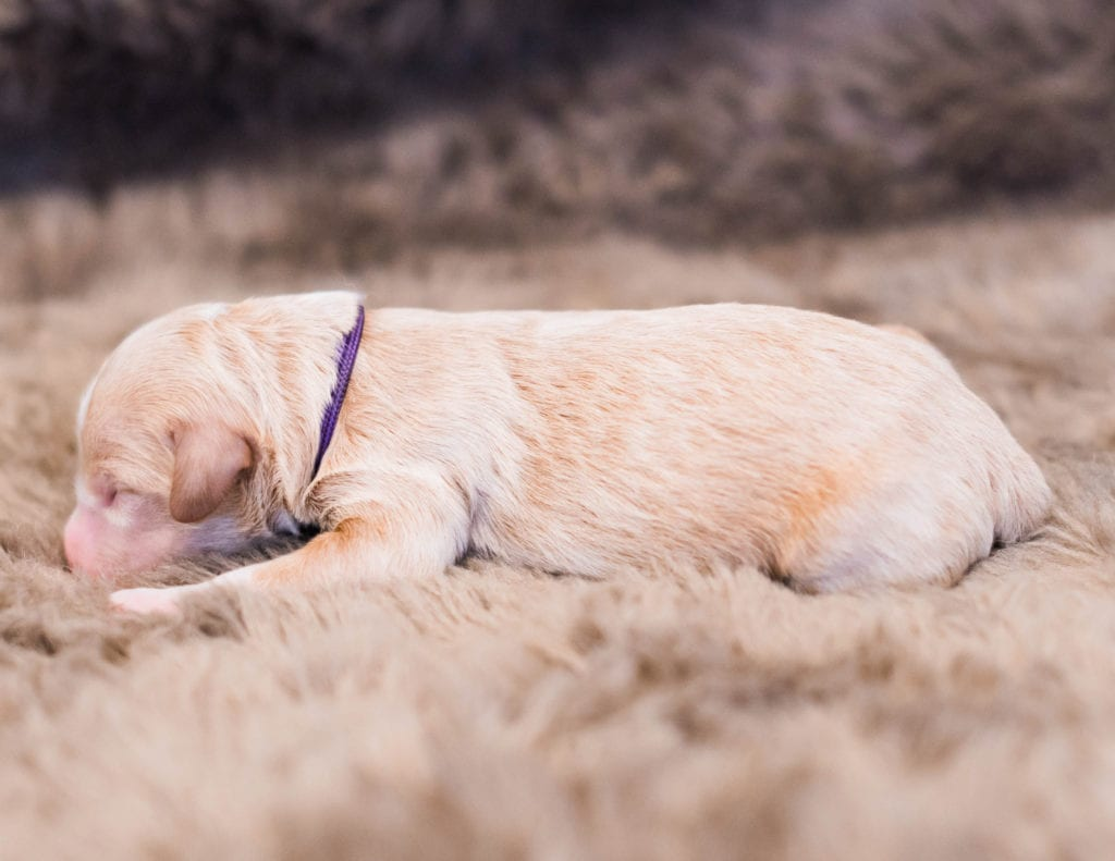 Kiva is an F1 Goldendoodle.