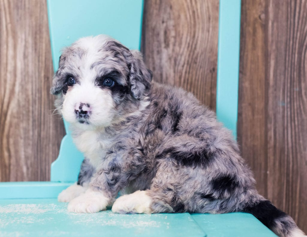 Lenny came from Harper and Grimm's litter of F1B Sheepadoodles