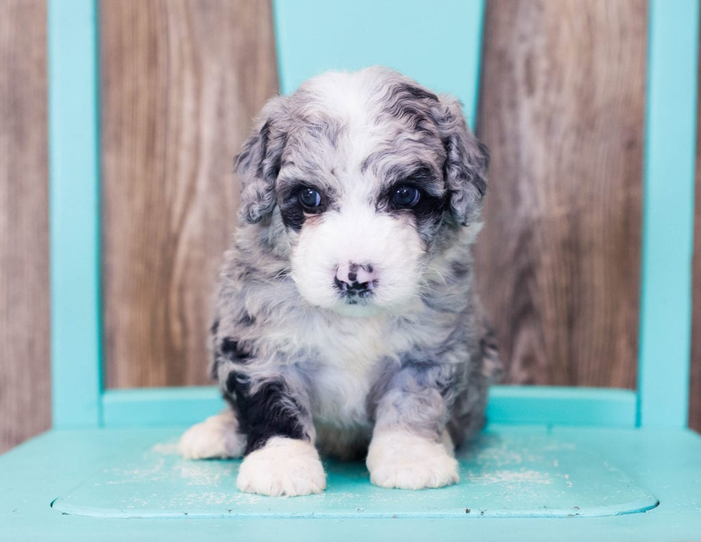 Lenny is an F1B Sheepadoodle that should have  and is currently living in South Dakota