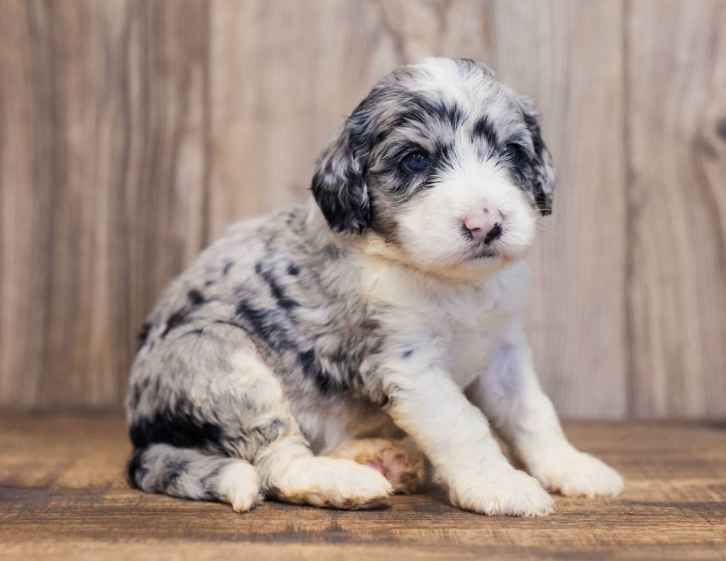 "Want to learn more about Sheepadoodles? Check out our blog post titled ""The New Dog Breed Everyone Seems to Want"""