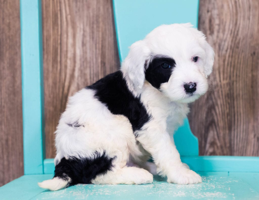 Mini Sheepadoodles with hypoallergenic fur due to the Poodle in their genes. These Sheepadoodles are of the F1B generation. For more info on generations, view our specific breed page for Sheepadoodles.