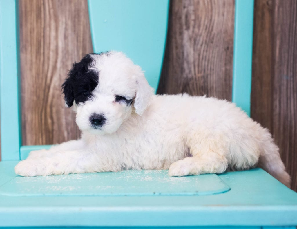 Liam came from Harper and Grimm's litter of F1B Sheepadoodles
