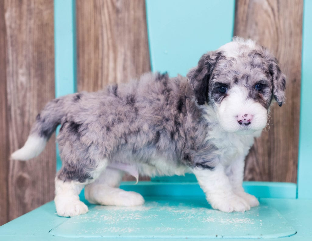 Logan is an F1B Sheepadoodle that should have  and is currently living in California