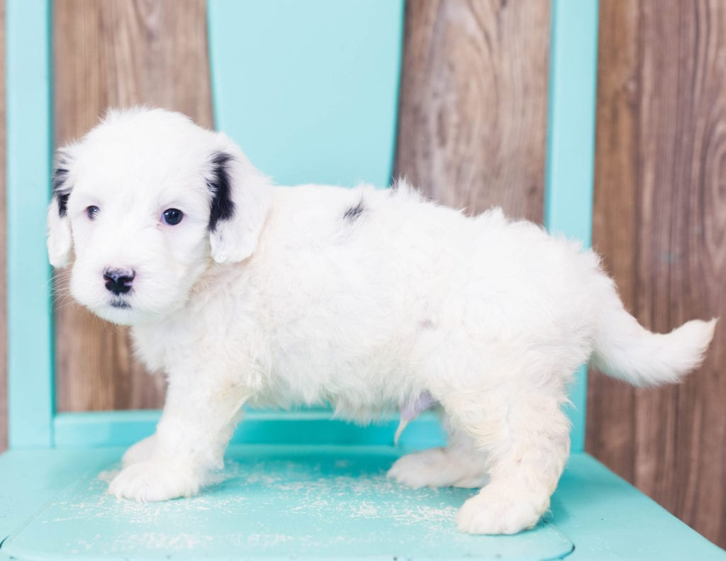 Lowie is an F1B Sheepadoodle that should have  and is currently living in Texas
