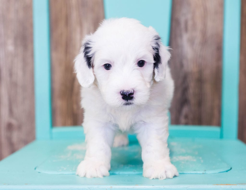 A picture of a Lowie, one of our Mini Sheepadoodles puppies that went to their home in Texas