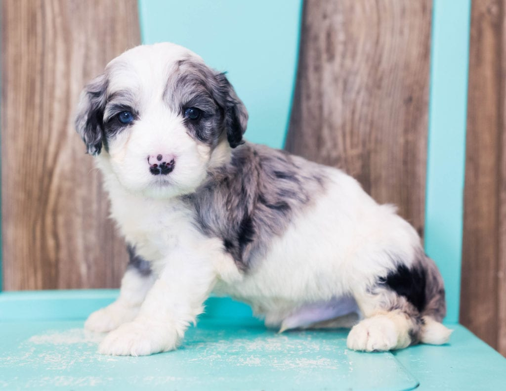 A picture of a Lucca, one of our Mini Sheepadoodles puppies that went to their home in California