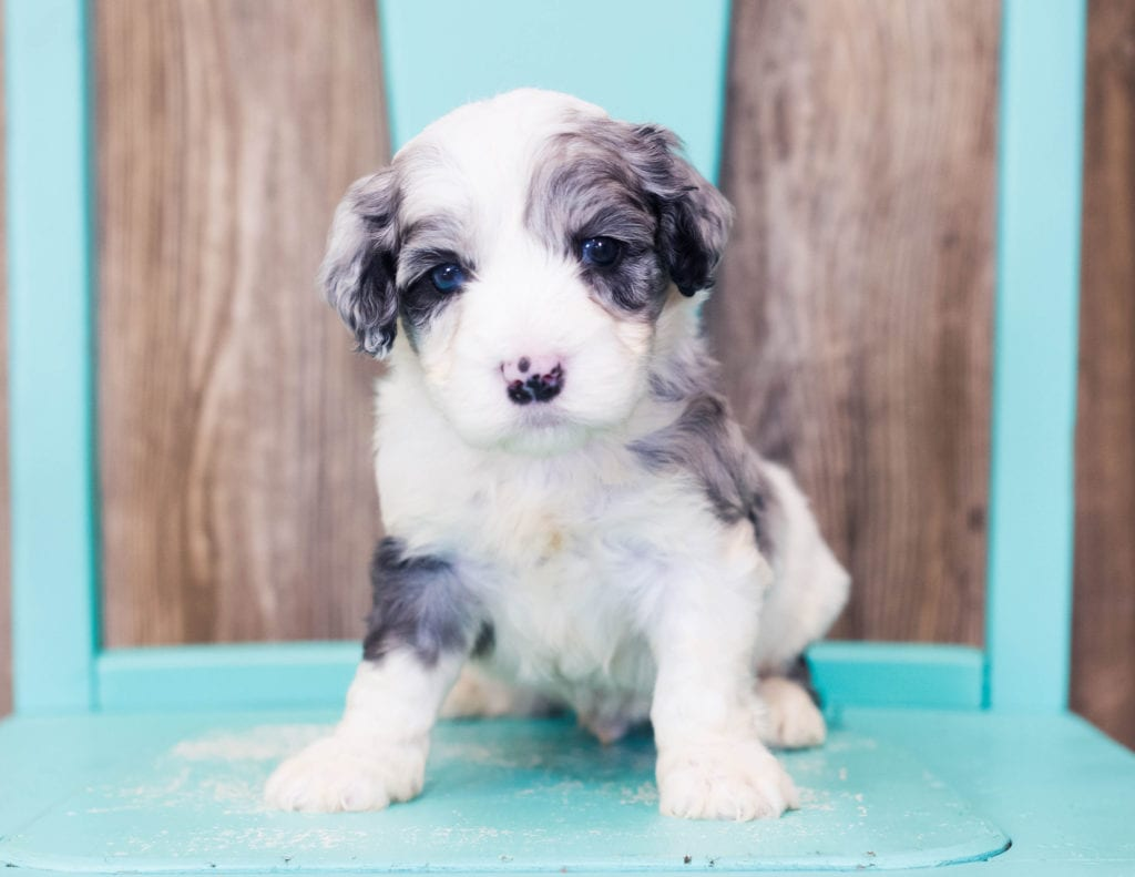 Lucca is an F1B Sheepadoodle that should have  and is currently living in California