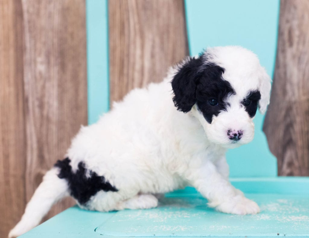 Lucky came from Harper and Grimm's litter of F1B Sheepadoodles
