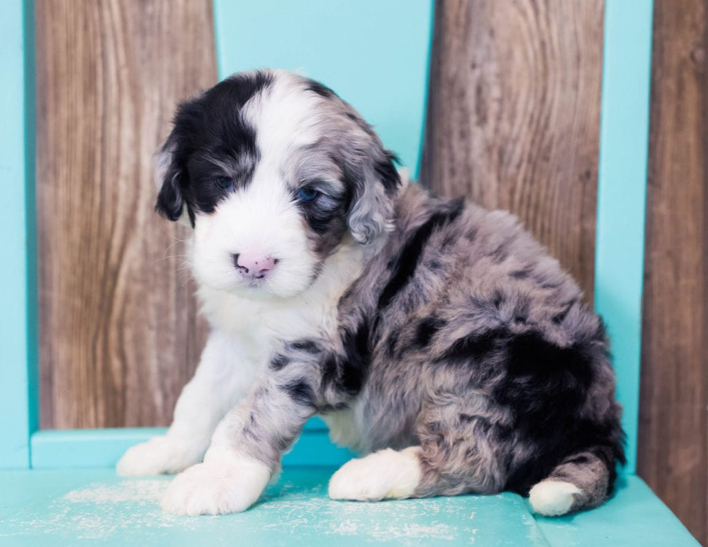 Luke is an F1B Sheepadoodle that should have  and is currently living in Texas