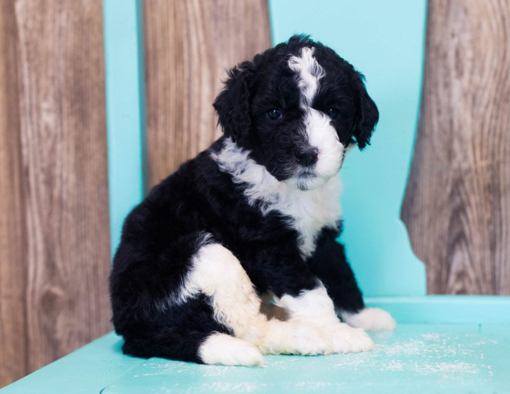 Lulu is an F1B Sheepadoodle that should have  and is currently living in Arizona