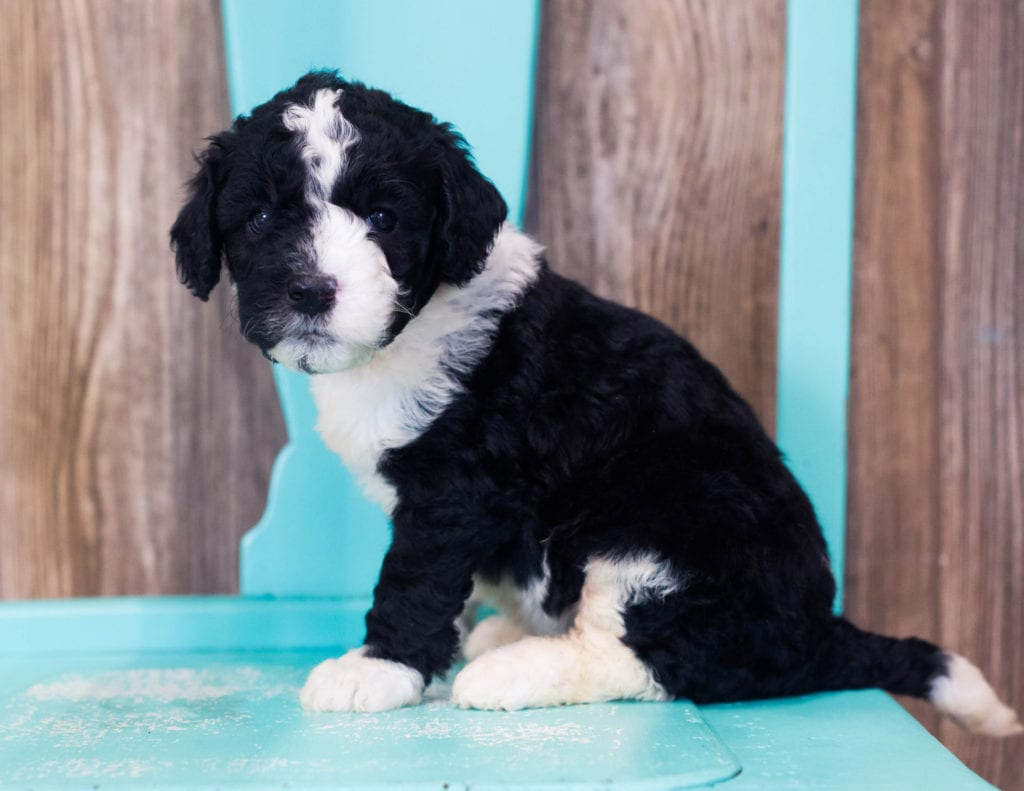 Lulu came from Harper and Grimm's litter of F1B Sheepadoodles