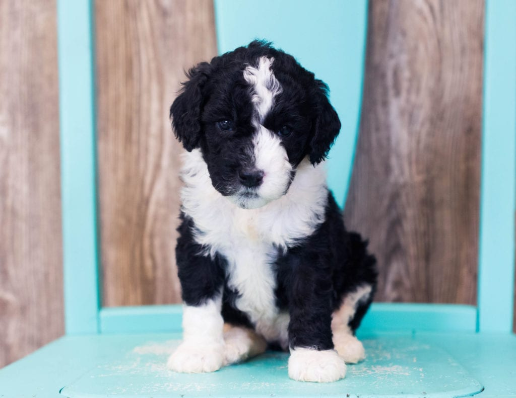 A picture of a Lulu, one of our Mini Sheepadoodles puppies that went to their home in Arizona
