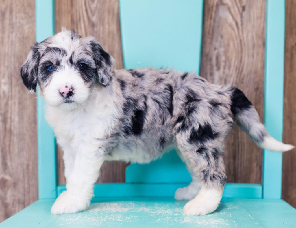 Lyra is an F1B Sheepadoodle that should have  and is currently living in Illinois