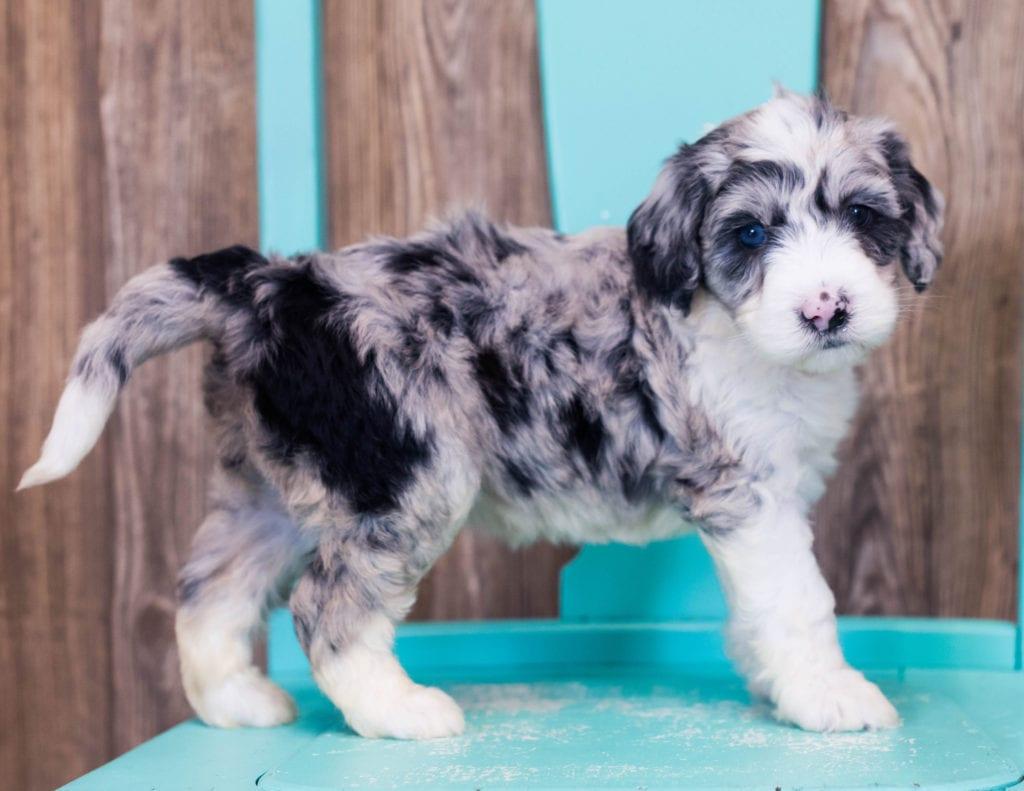 A picture of a Lyra, one of our Mini Sheepadoodles puppies that went to their home in Illinois