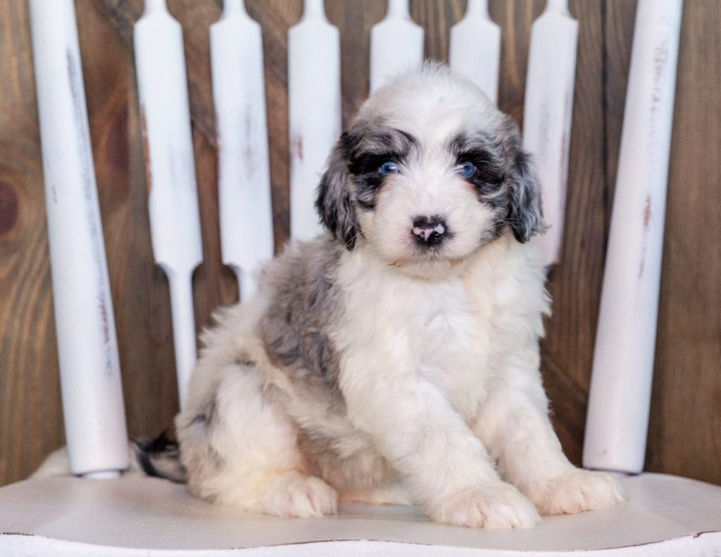 Nefa is an F1 Sheepadoodle that should have  and is currently living in Nebraska