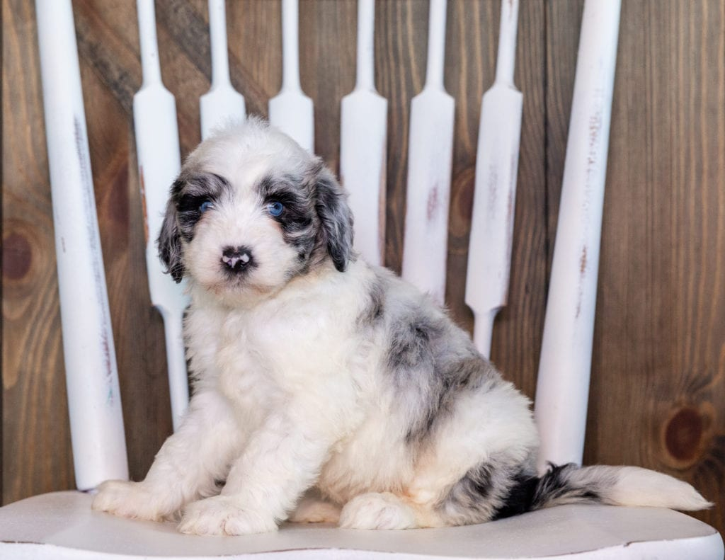 Nefa came from Kaze and Merlin's litter of F1 Sheepadoodles