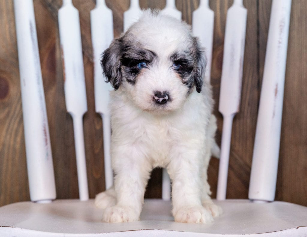 A picture of a Nefa, one of our Standard Sheepadoodles puppies that went to their home in Nebraska