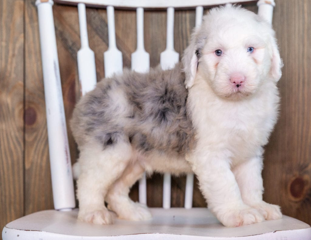 Nate is an F1 Sheepadoodle that should have  and is currently living in Florida