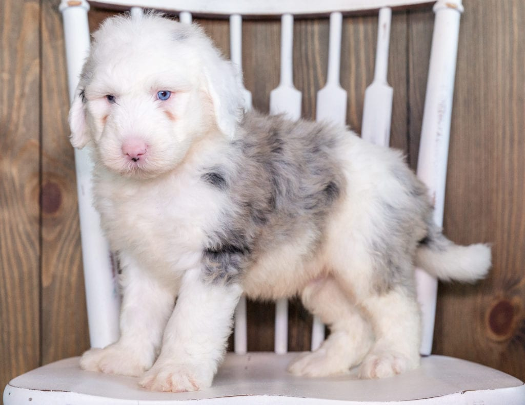 A picture of a Nate, one of our Standard Sheepadoodles puppies that went to their home in Florida
