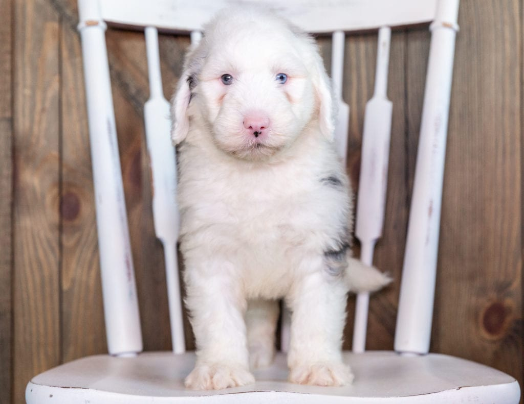 Nate came from Kaze and Merlin's litter of F1 Sheepadoodles
