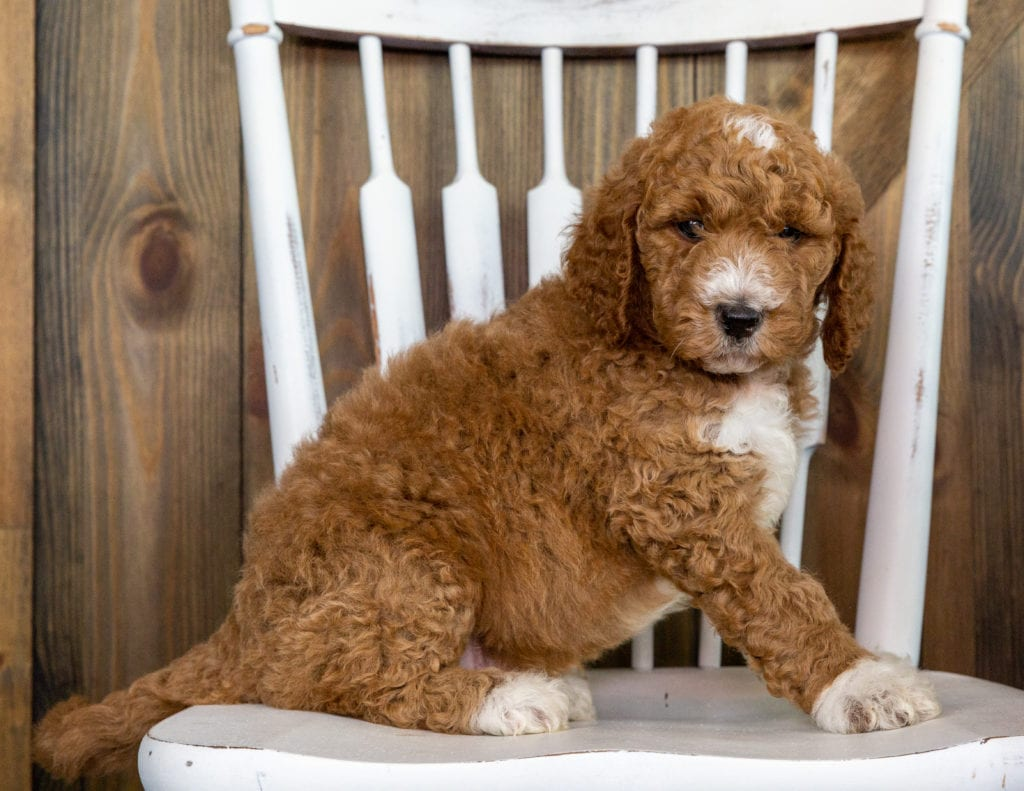 Odus is an F1BB Goldendoodle that should have  and is currently living in California