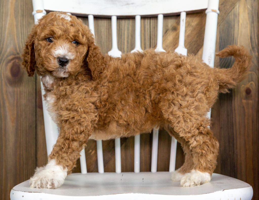 Odus came from Paisley and Chevy's litter of F1BB Goldendoodles