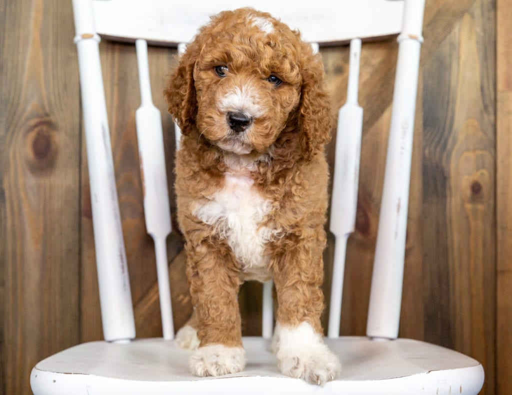 A picture of a Odus, one of our Mini Goldendoodles puppies that went to their home in California