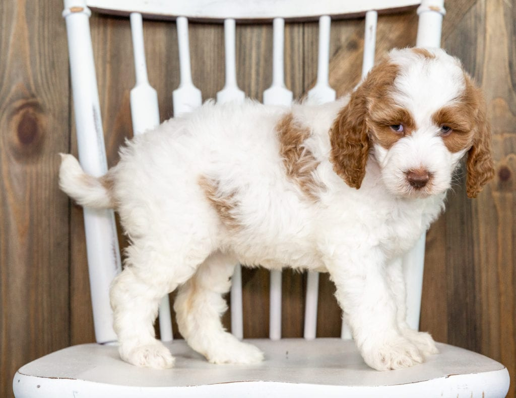Offie is an F1BB Goldendoodle that should have  and is currently living in Texas