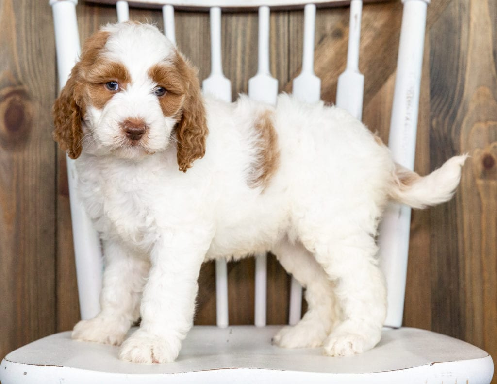 Offie came from Paisley and Chevy's litter of F1BB Goldendoodles