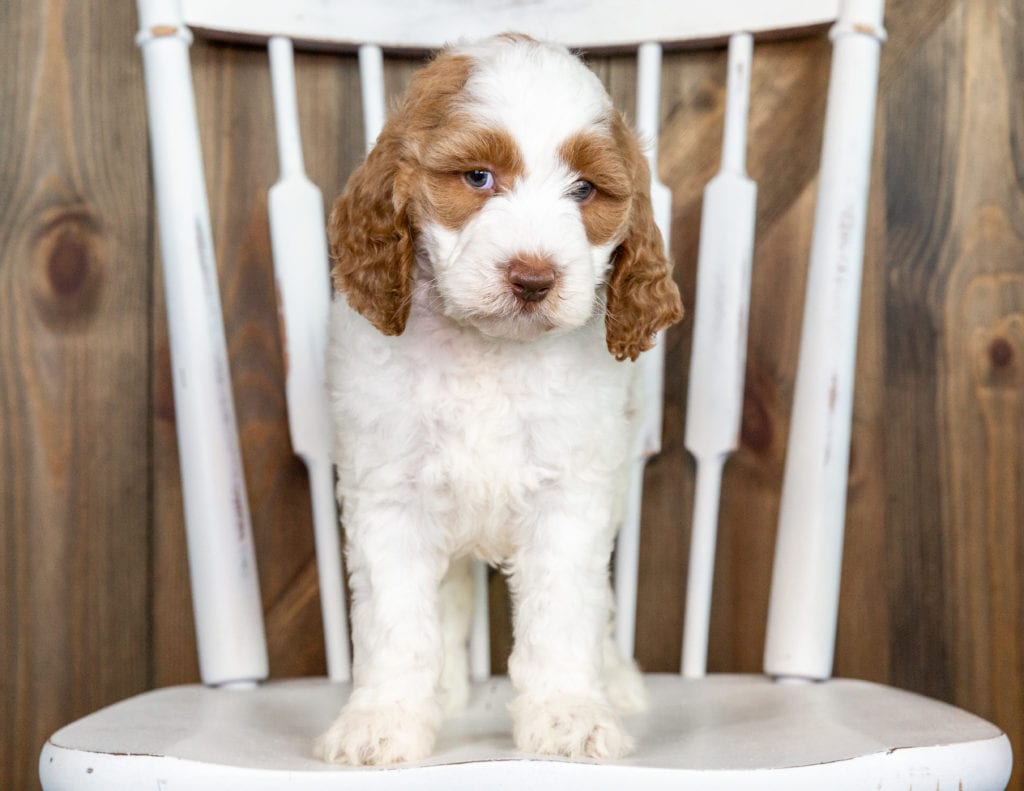 A picture of a Offie, one of our Mini Goldendoodles puppies that went to their home in Texas