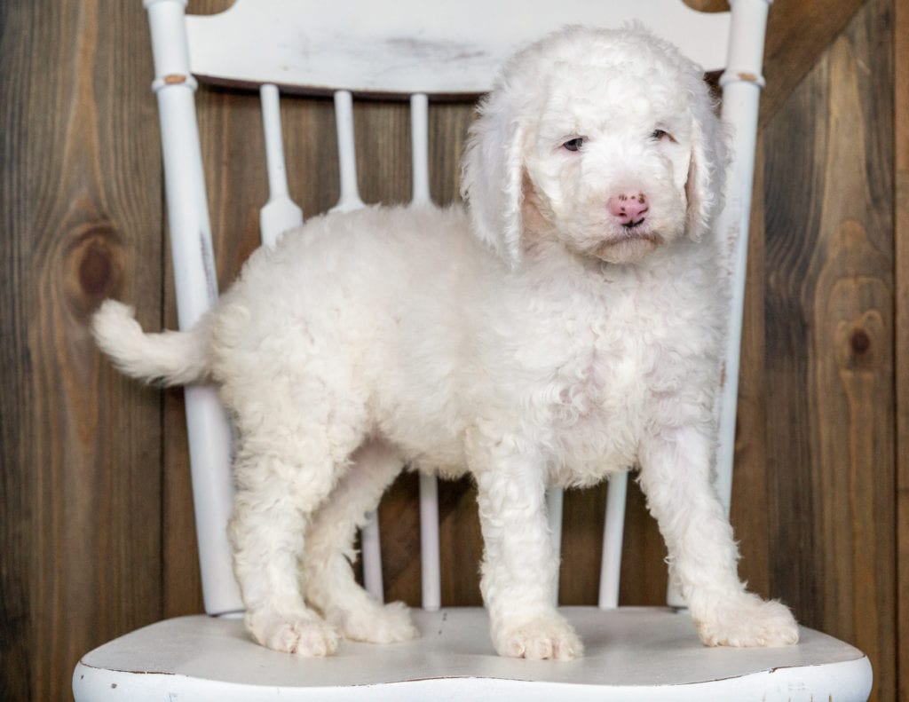Olda came from Paisley and Chevy's litter of F1BB Goldendoodles