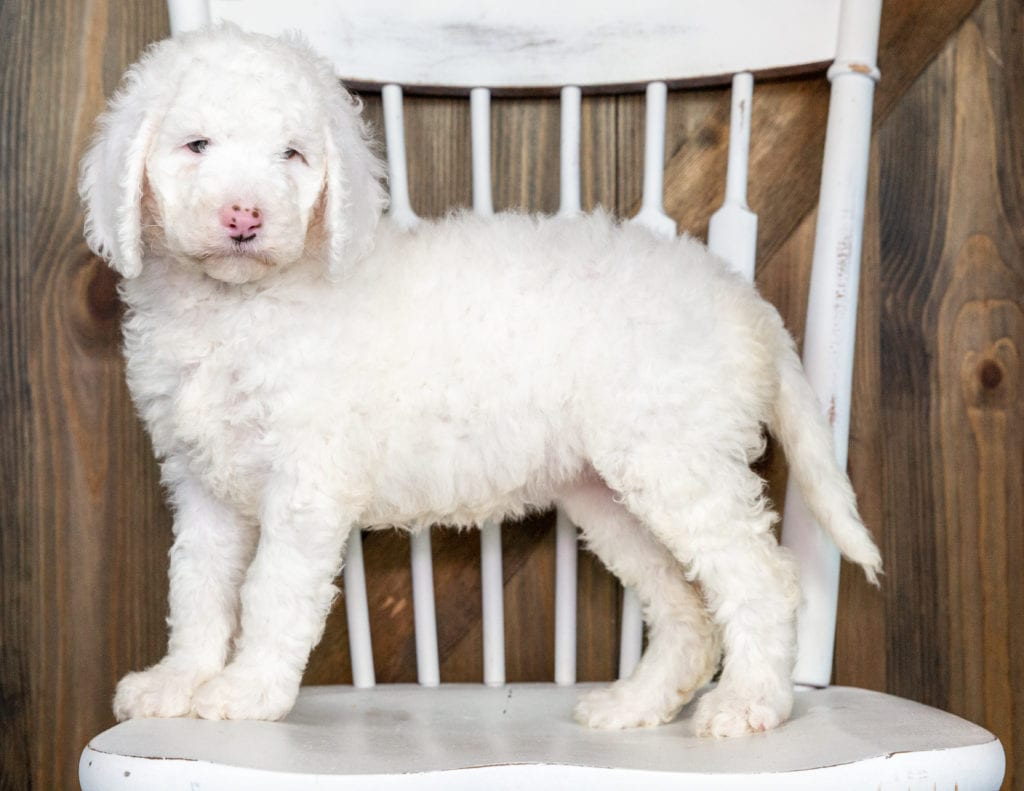Olda is an F1BB Goldendoodle that should have  and is currently living in Colorado