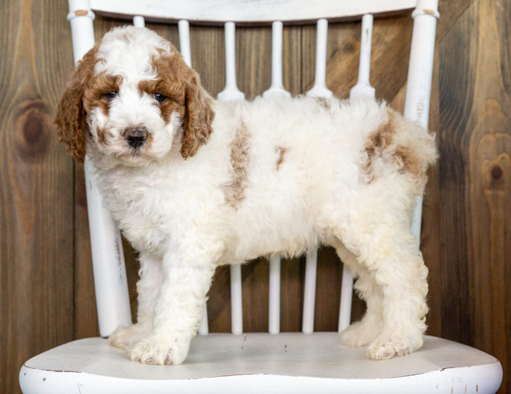 Olive is an F1BB Goldendoodle that should have  and is currently living in Minnesota