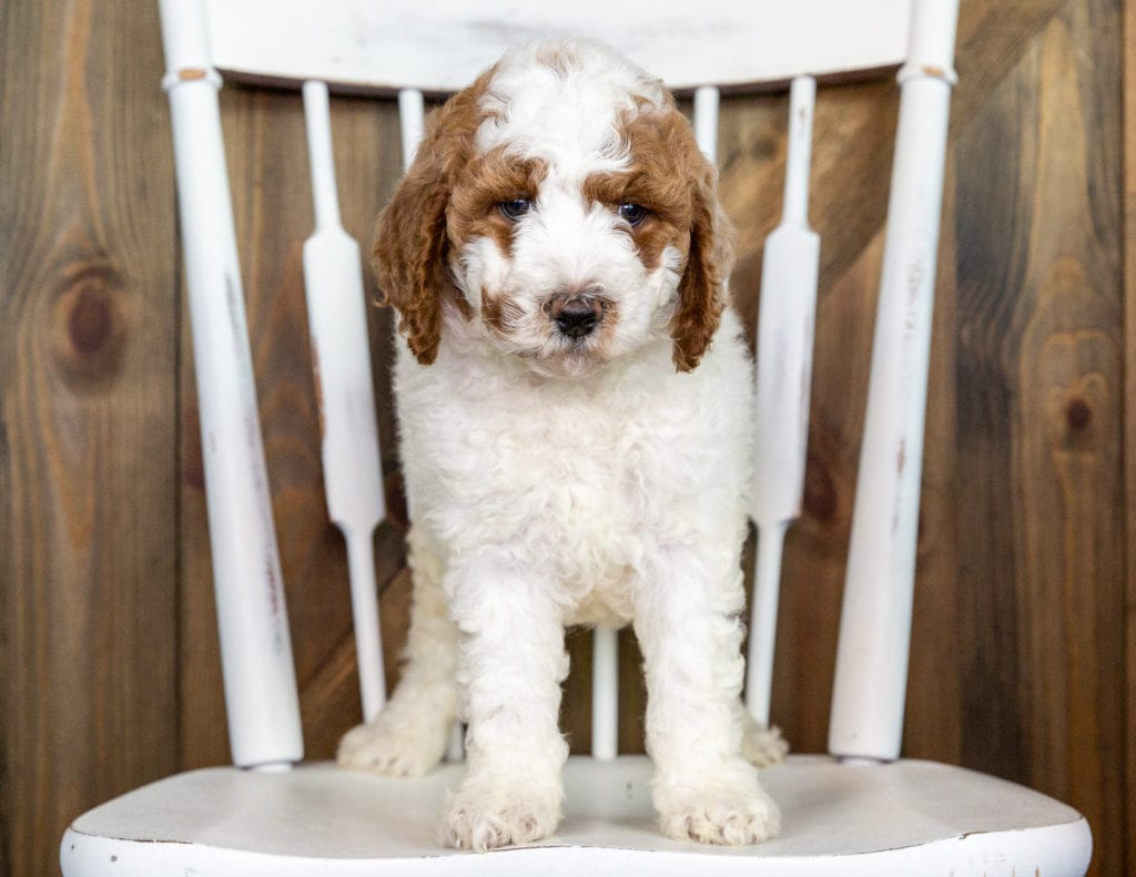 Olive came from Paisley and Chevy's litter of F1BB Goldendoodles