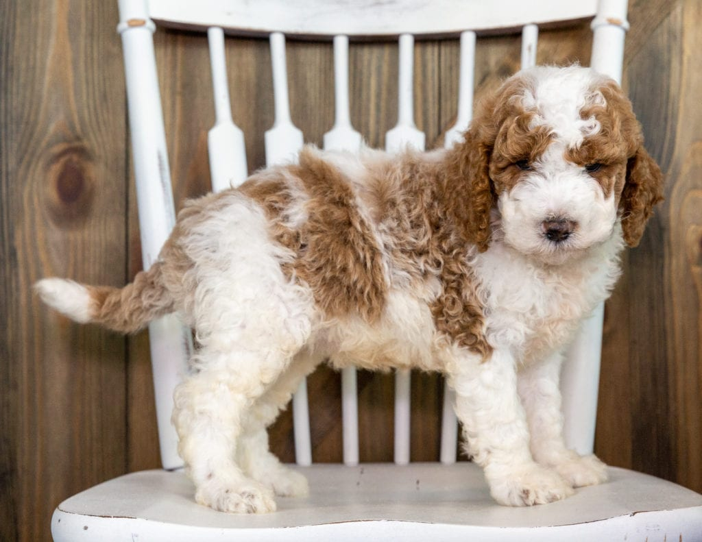 Opie came from Paisley and Chevy's litter of F1BB Goldendoodles