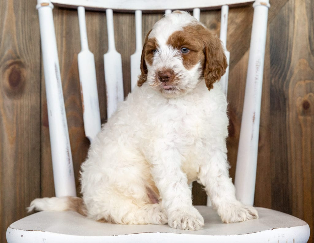 Oski came from Paisley and Chevy's litter of F1BB Goldendoodles