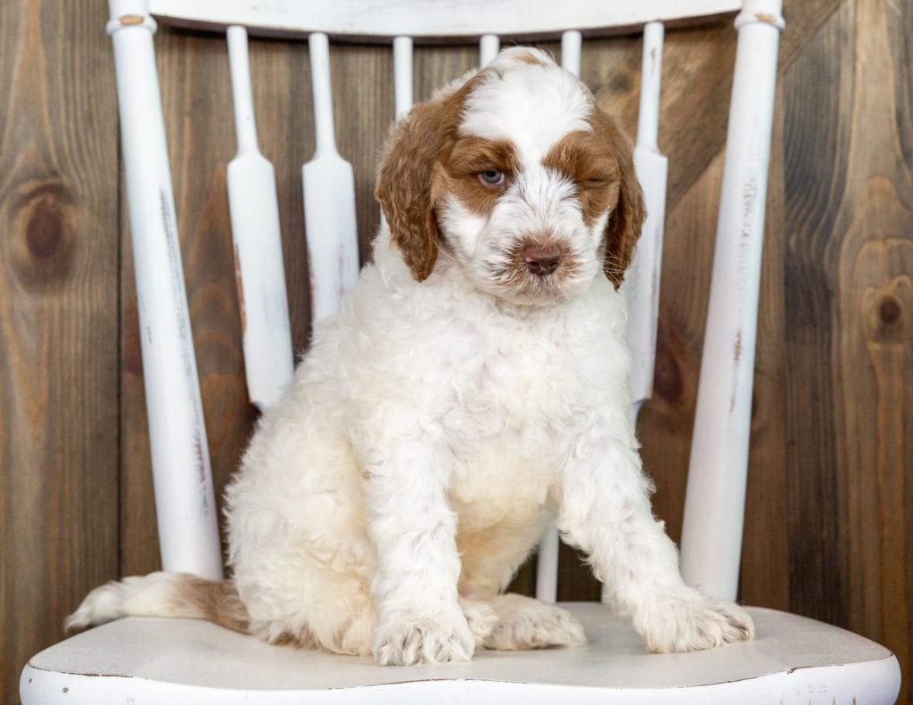 Oski is an F1BB Goldendoodle that should have  and is currently living in Texas