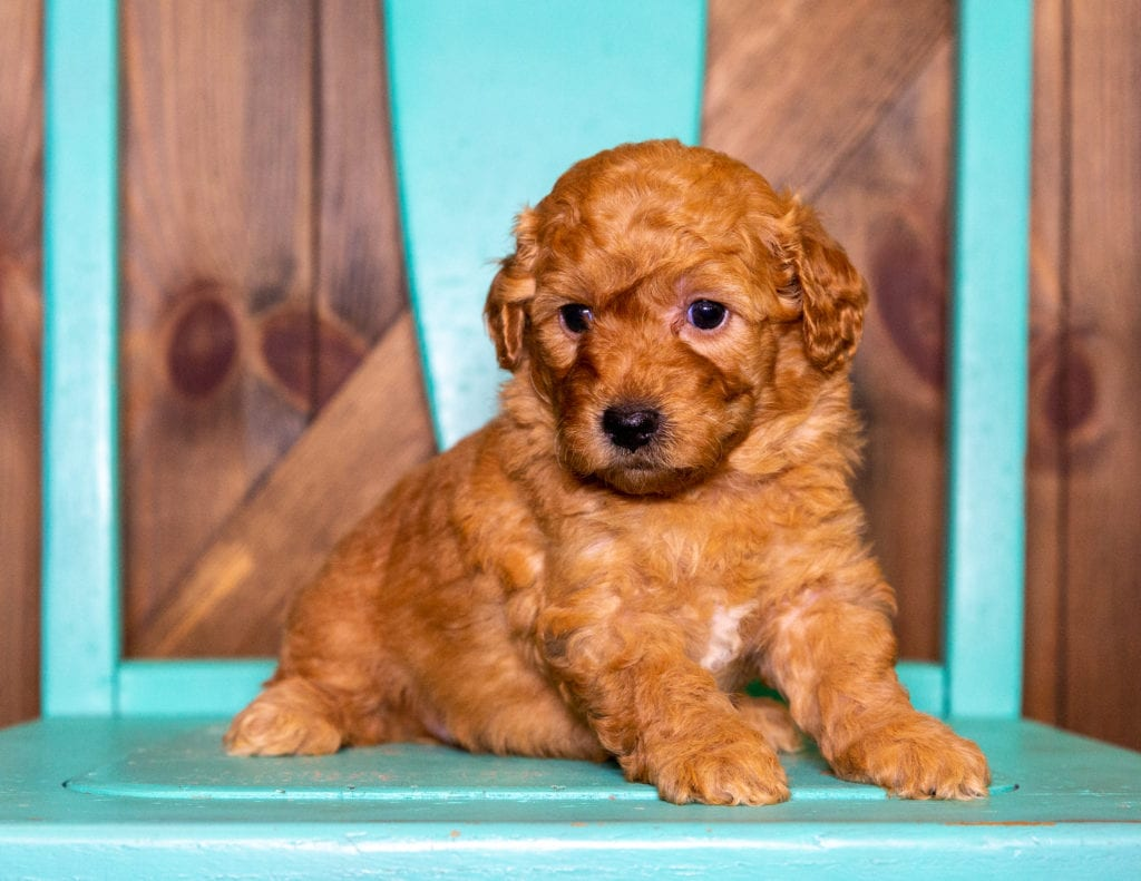 Pearl came from Berkeley and Taylor's litter of F1B Goldendoodles