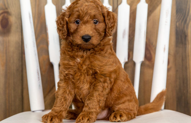 A Poodles 2 Doodles litter of Mini Goldendoodles raised in Iowa