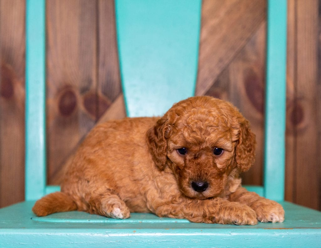 Patsy came from Berkeley and Taylor's litter of F1B Goldendoodles