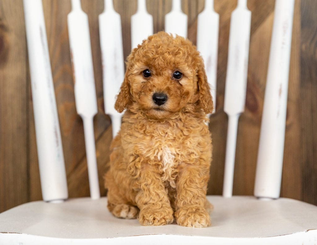 These Goldendoodles were bred by Poodles 2 Doodles, their mother is Berkeley and their father is Taylor