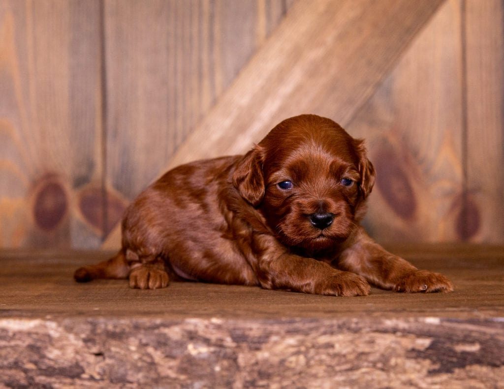A picture of a Summer, one of our Petite Cavapoos for sale