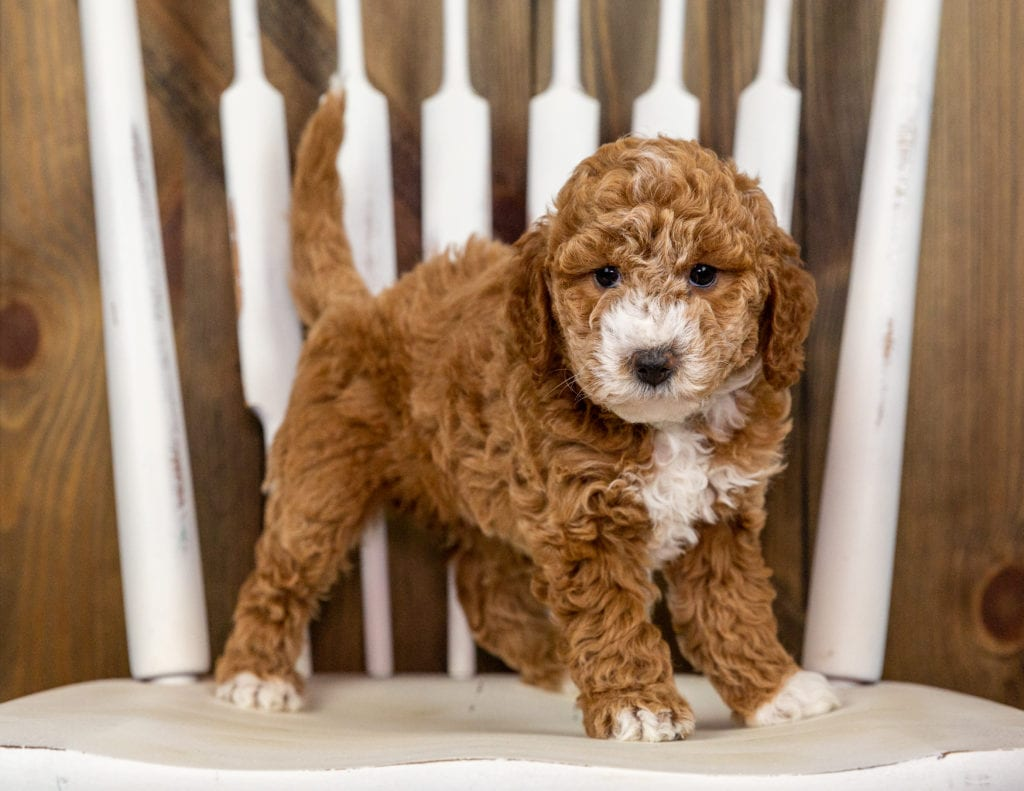 Quala came from Kimber and Milo's litter of F1B Goldendoodles