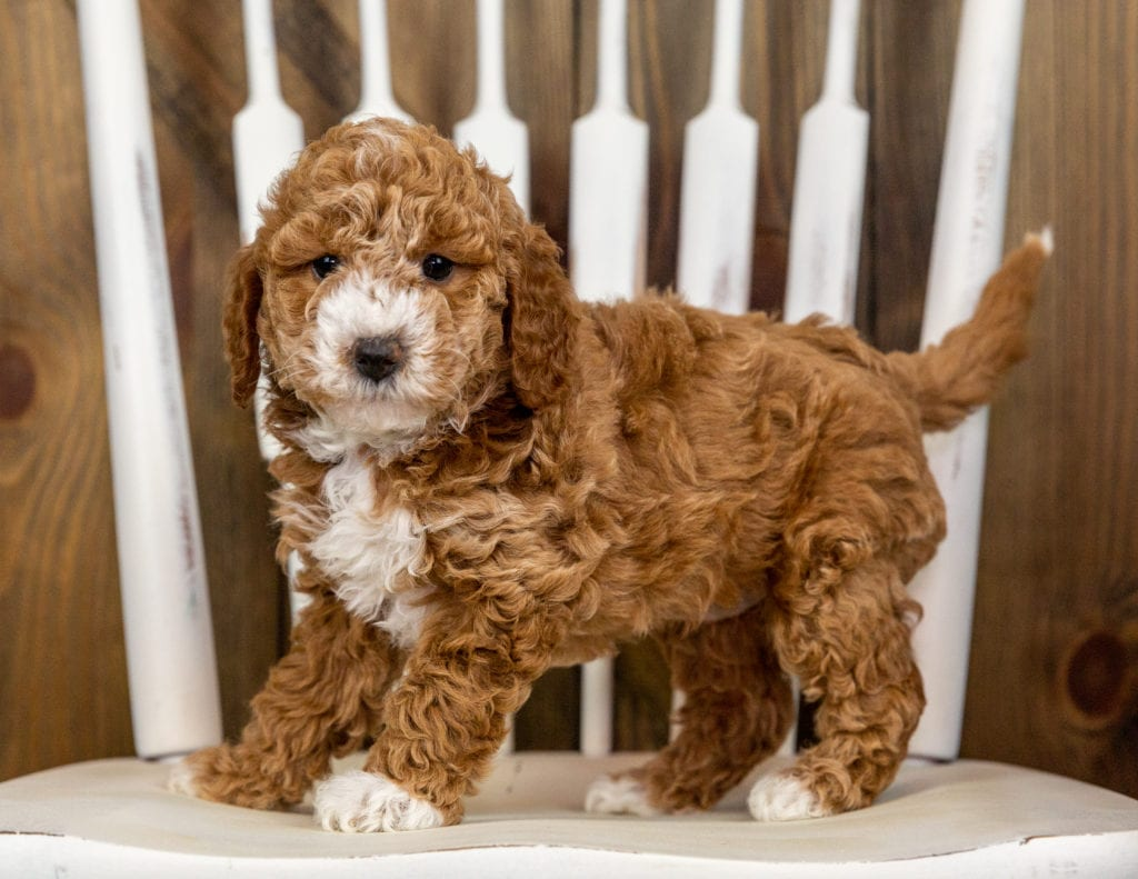 Quala is an F1B Goldendoodle that should have  and is currently living in South Dakota