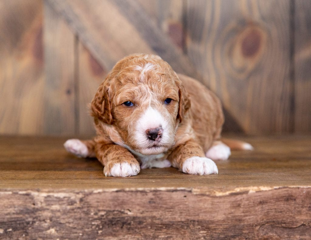 Quala is an F1B Goldendoodle.